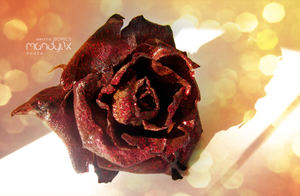 dried rose by Mandy0x