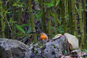 Robin in Bamboo by organicvision