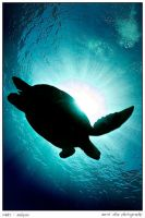 silhouette of caretta by carettacaretta
