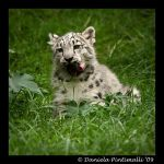 Baby Snow Leopard: Tasty IV by TVD-Photography