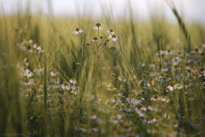camomile by christinegeier