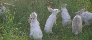 our rabbits grazing by abtheartist