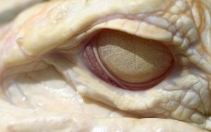Albino Gator Eye Wallpaper by 1ASP1