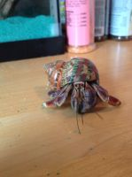 Hermit crab Stock 1 by jackiehorse