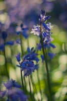 Bluebell by MMortAH