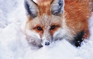 Ann Morrison Fox by VisualDiscernment