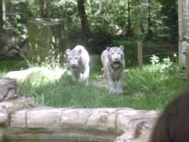 White tiger brothers by Lena-Panthera