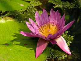 Pink in the Pond by AgiVega