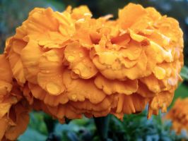 Orange flower and droplets. by SteffiSTEREO