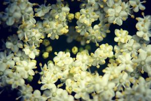 Elderflower by DevonFox