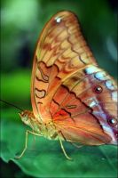 Close Butterfly by lushy01