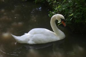 STOCKPHOTO swan8 by MaureenOlder