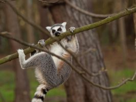 Ring Tailed Lemur 03 - Dec 11 by mszafran