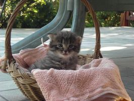 kitten in basket by LadyFromNightmare
