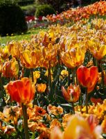 Orange tulips by Daisydog8