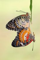 Leopard Lacewing 260609 by inckurei