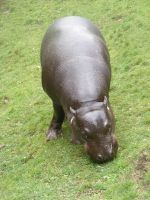 Hippo stock 1 by Jrennie1984-stock