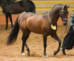 STOCK - 2014 Andalusian Nationals-105 by fillyrox