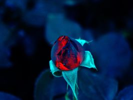 burnt rose by ansiaaa