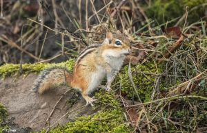 The Chipmunks are Emerging :-) (3) by Nini1965