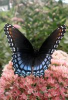 Red Spotted Purple 05 by Thy-Darkest-Hour