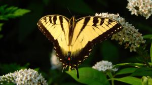 Tiger Swallowtail by SMBaird