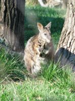 Wallaby by LuLove
