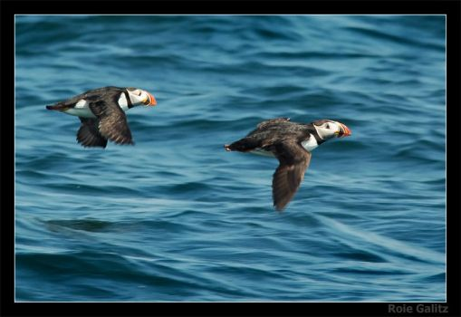 Puffin by RoieG
