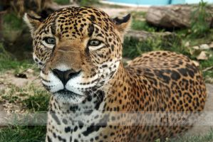 Jaguar by ColorShoot