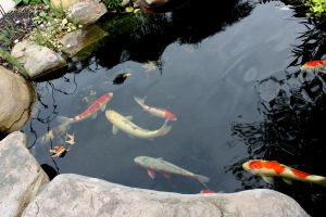 Koi in a pond by klbryanphotography