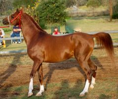 RA stallion side on left leg o by Chunga-Stock
