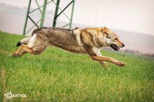 Wolfdogs Can Fly XVIII. by Czertice