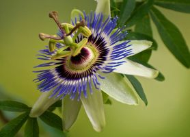 Passion Flower by thankyoujames