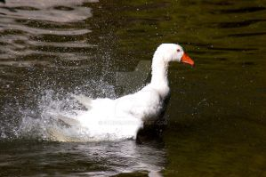 Goose by Strige
