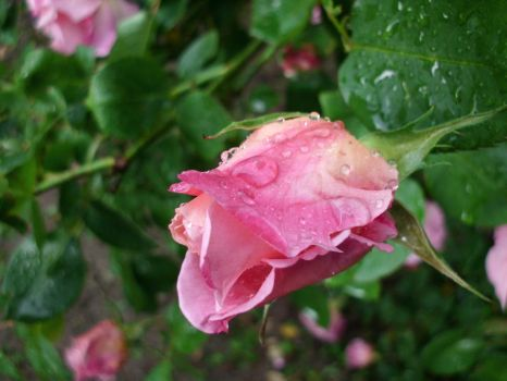 Pink Rose III by ANDMAiYESi1986