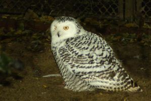 Young snow owl 3 by steppelandstock