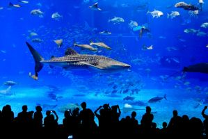 Okinawa Aquarium, Whale Shark by andre2886