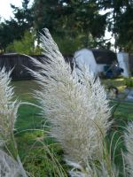 Pampas feather 1 by FlyingFox-Bat