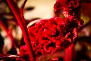 red flower by avip-dee
