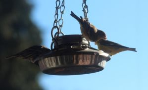New birds at my feeder! by lupagreenwolf