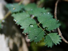 drops on leaves by thelastrunaway