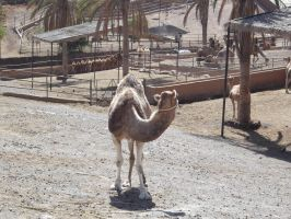 Camel Stock Four by SilverNight1079