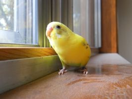 budgie by sketchybunny