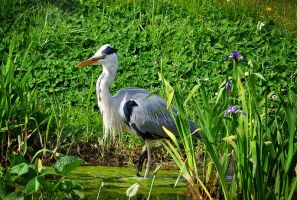 Grey Heron by lysaa