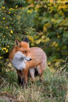 Fox 09 by Alannah-Hawker