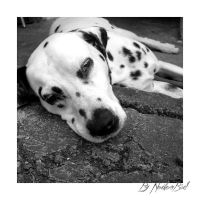the sad dalmatian 2 by NorthernBird
