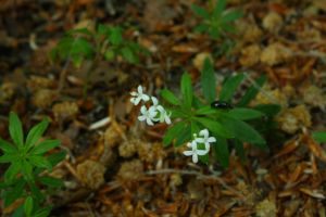 Sweet woodruff and beetle by Criosdan