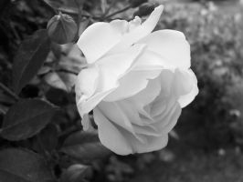 white rose in black and white by totalyboredchick