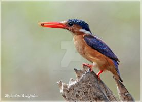 A little snack- Malachite Kingfisher by Jamie-MacArthur