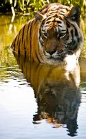 Bathing Tiger in Colour by Yslen